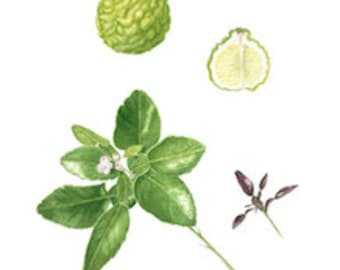 Kaffir Lime Rind Essential Oil - Citrus hystrix - 100% Pure