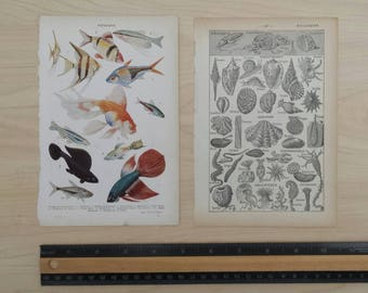 FISH and SHELLS, 10+ pages ephemera, vintage 1952 french dictionary