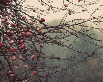 20 Percent Off Sale apple tree orchard landscape photography mist  fog woodland fine art photograph home decor hotel decor