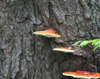 Fungi Growing on Side of Tree
