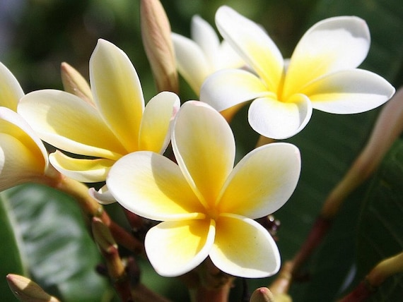 Heirloom 5 seeds plumeria alba yellow white flower garden mightylinksfo