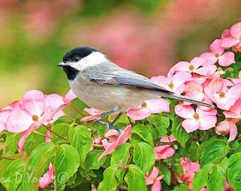 Carolina Chickadee Bird, Chickadee Bird Photo, Bird Photography, Bird Wall Art, Pink Dogwood, Fine Art Photography, Songbird Art Print