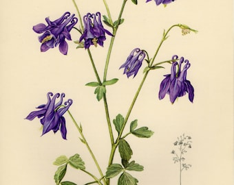 Vintage lithograph of the European columbine, common columbine, Granny's nightcap or Granny's bonnet from 1955