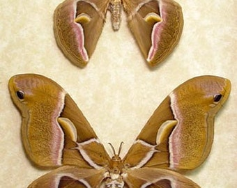 Samia Cynthia Real Framed North American Silk Moth Pair 1035P