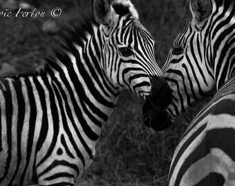 Photograph of a couple of zebras - Tanzania