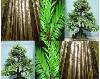 15 x California Redwood Tree Seeds - Sequoia sempervirens - Bonsai Evergreen Fast Growth - GROWS 3 - 5 FEET Per Year - ZONE 7 - 9