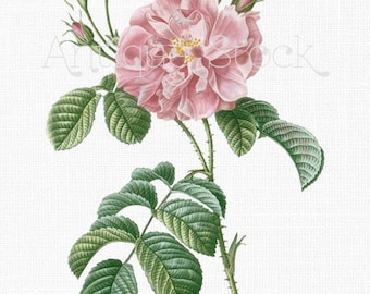 Pink Rose Clipart 'Ever-blowing Rose' PNG and JPG Images Digital Download for Wall Art Prints, Wedding Invitations, Collages, Crafts...