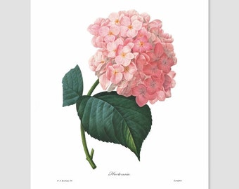 Hydrangea Art, Summer Flower Print (French Botanical, Kitchen Chic Artwork, Country Bedroom, Cottage Wall Decor, Dining Room) Pierre Redoute