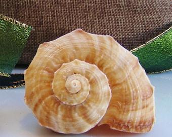 Rapana Bulbosa Sea Shell (1 piece) ~ Sea Shells ~ Brown Shell ~ Beach Decor ~ Pretty Shell ~ Beautiful ~ 2 Size Choices at Checkout