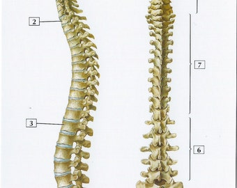 Vertebral Column Anatomy Flash Card by Frank H. Netter to Frame or for Paper Arts, Collage Scrapbooking and MORE PSS 2704