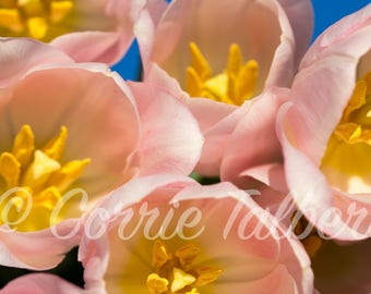 Pink Tulips, Flower Photography, Home Decor, Wall Art, Pink Flowers, Flower Prints, Close up Photography