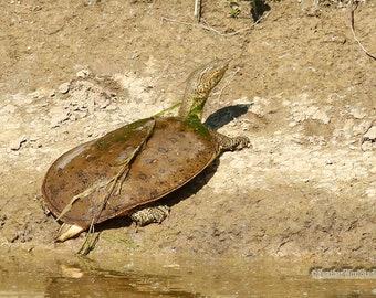 Spiny Softshell Turtle Photo | Reptile | Wildlife Photography| Soft Shelled Animal | Boys Room Wall Art | Nature Decor Gift | Animal Print