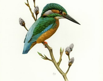 Vintage lithograph of the common kingfisher, Eurasian kingfisher or river kingfisher from 1958