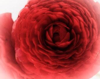 Wine Red Ranunculus Print, Bedroom Decor, Flower Photography