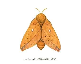 Consular Oakworm Moth (Anisota consularis)