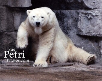 Polar Bear Photos, Kids room decor, zoo animals, color photography, animal photography, wall art, Polar Bear, Bear Photos
