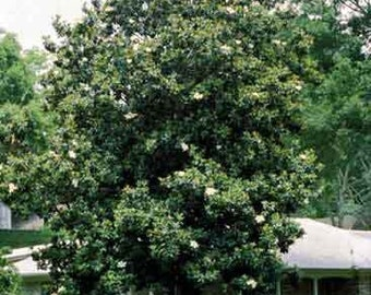 50 Sweetbay Magnolia Tree Seeds, Magnolia virginiana