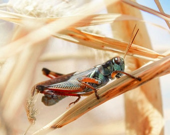 Nature photography, grasshopper, insect photography, grassy field, golden blades of grass, insect art, Wound Tight