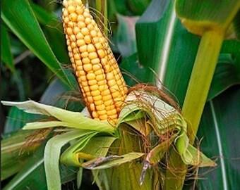 Organic Sweet Corn Golden Bantam Heirloom Vegetable Seeds Non Gmo