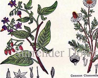 Tollkirsche Kamille Carroway Geranium 1907 Vintage Heilung Heilpflanzen Edwarian Tabelle XVI.