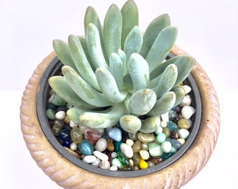 Succulent-Belle Blue in pot