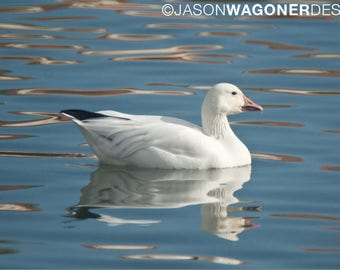 Snow Goose - bird -  lake - photography - photo - Digital Photo Download - Print at Home - Photo - Instant Download - Image File