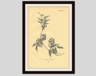 Antique Botanical Print, 5 x 7.75, Aged Black and White Flower, Floral Wall Art, Cottage Decor, Wild Bean, Wildflower Illustration, (331)