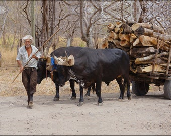 Man With Oxen - Costa Rica - Giclee Canvas Print