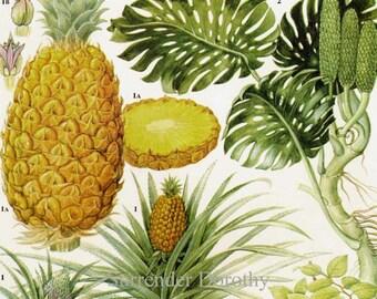 Pineapple Ceriman Sour Sop & Cherimoya Tropical Fruit Flower Chart Food Botanical Lithograph Illustration For Your Vintage Kitchen 97