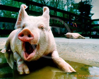 Laughing Pig, Funny Photo, Pig Art