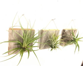 Free Shipping - Set of Three SMALL FORM Air Plant and Barn Wood Grab Bag airplants