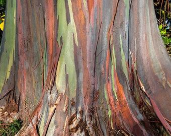 Close up of Rainbow Eucalyptus Tree Bark, Oahu, Hawaii photo picture fine art metal print