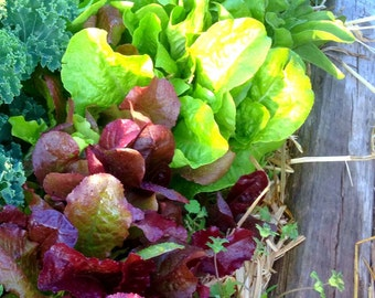 Lettuce Seed, Mixed Lettuce Blend, Red Leaf Lettuce, Green Lettuce, Great for Small Space Gardens Heirloom Lettuce Non GMO Lettuce Varieties