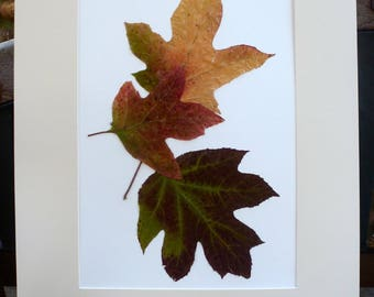 Real Pressed Leaf Botanical Art Herbarium of Oak Leaf Hydrangea Leaves 12x18