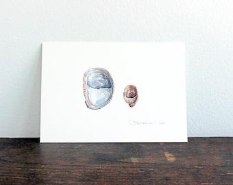 Slipper Shells Original Watercolor Painting, seashore natural history illustration