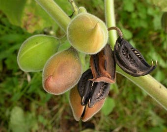 20 Martynia annua Seeds . Devil Claw Seeds, Tiger's Claw Seeds