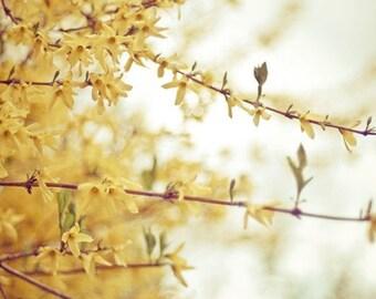 forsythia nature photography / botanical phootgraphy, spring, yellow, fall colors, mustard yellow / 8x10 fine art photo