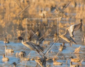 Original wildlife photography rendering an image of  Pintail Ducks taking flight, Pintail duck wildlife wall art, ducks flying, Pintails