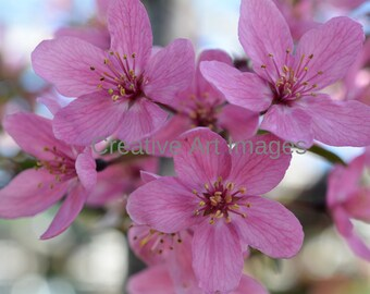 Beautiful Pink Cherry Blossoms, Pink Cherry Blossoms Image, Pink Cherry Blossoms Canvas Print, Pink Cherry Blossoms Photograph #232