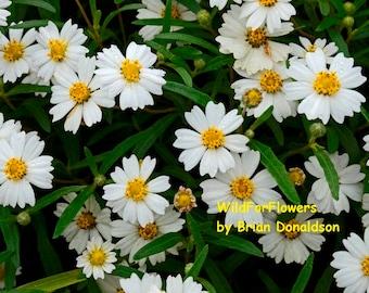 White, Yellow Flowers Art Photography Wildflowers
