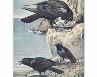 "Crow Art, Raven Print (Vintage Bird Illustration, Antique Coastal Wall Decor) --- ""Eastern Crow & Northern Raven"" No. 59"