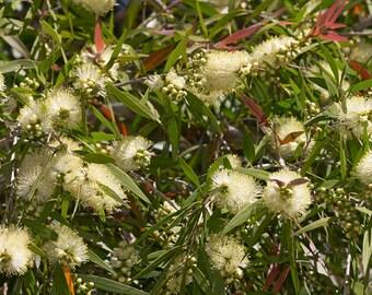 Callistemon salignus (Willow Bottlebrush)   200 seeds.  Splendid Australian shrub lemon coloured bottle brushes and pinky-red young leaves.