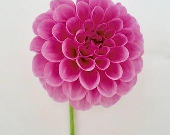 Pink Pompom Dahlia