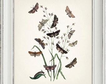 Moth Series no.4  - 8x10 - Fine art print of a vintage natural history antique illustration