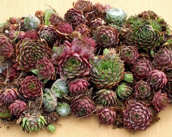 Assorted mini sempervivum succulent cuttings