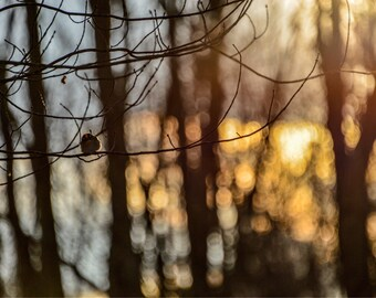 Crowned Kinglet in New England Morning