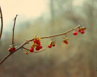 """Nature Photography, Wilderness, Wild, Botanical, Rustic, Red, Green, Earthy, 6x9 or 8x12. """"Bittersweet""""."""