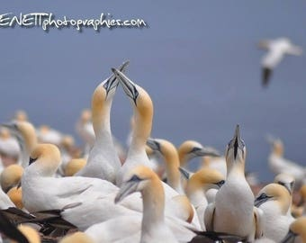 Postcard: gannets crazy in love.