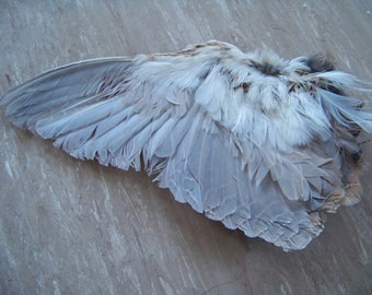 Domestic Quail Wings (slightly damaged feathers)