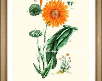 "Marigold Print. Calendula. Orange Flower Print. Botanical Print. Floral Wall Art,  8x10"" 11x14"""